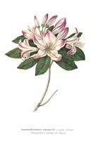 Rhododendron Bright Fine-Art Print