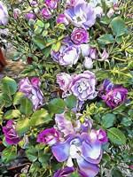 Climbing Lilac Rose Fine-Art Print