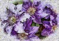 Dreams of Lilac Clematis Fine-Art Print