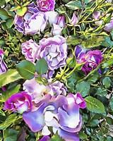 Soft Lilac Rose Fine-Art Print
