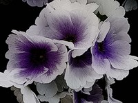 Vainglorious Violet Fine-Art Print