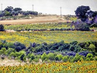 Sunflower Landscape Fine-Art Print