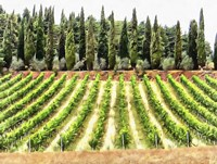 Cypresses and A Vineyard In Umbria Fine-Art Print