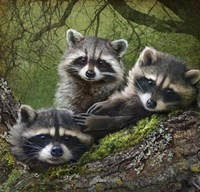 Raccoons As Art Fine-Art Print