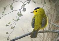Wetland Wilson's Warbler Fine-Art Print