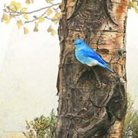 Mountain Bluebird On Dead Aspen Fine-Art Print