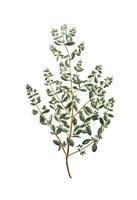 Herbs on White 2 Fine-Art Print