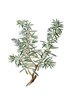 Herbs on White 3 Fine-Art Print