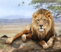 Shady Spot Lion Male Fine-Art Print