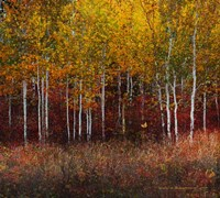 Aspen Forest Near Kelly WY Fine-Art Print