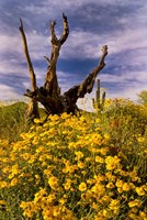 Desert Flowers With Tree Arizona Fine-Art Print