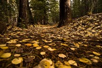 Aspen Leaves Bismark Trail Arizona Mtns Fine-Art Print