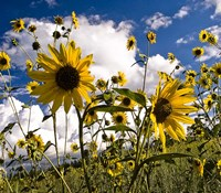 Sunflowers Arizona Fine-Art Print