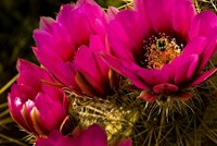 Prickly Pear Cactus Arizona Desert Horizontal Fine-Art Print