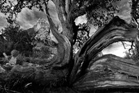 Sedona Juniper Tree Fine-Art Print