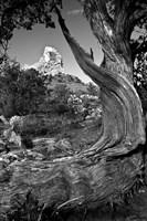 Sedona Juniper Tree National Forest Fine-Art Print