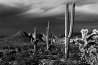 Saguaros Superstition Mtns Arizona Fine-Art Print