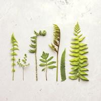 Flat Lay Ferns IV Fine-Art Print