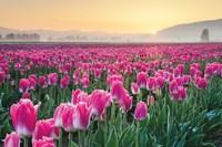 Skagit Valley Tulips I Fine-Art Print