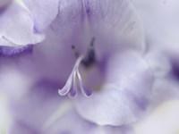 A Gift in Purple II Fine-Art Print