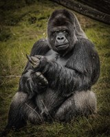 The Male Gorilla Black Fine-Art Print