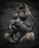 The Male Gorilla Fine-Art Print