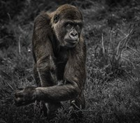 Gorillas Fine-Art Print