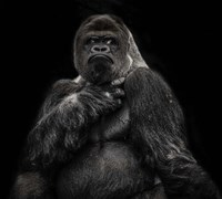 The Male Gorilla 2 Black Fine-Art Print