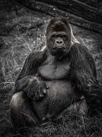 The Male Gorilla 3 Fine-Art Print