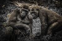 Gorillas 3 Fine-Art Print