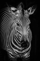 Zebra 3 Black & White Fine-Art Print