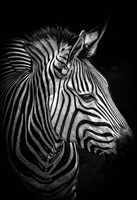 Zebra 4 Black & White Fine-Art Print