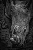 Male Rhino 2 Black & White Fine-Art Print