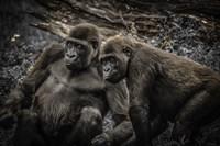 Gorillas 4 Fine-Art Print