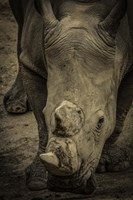 Male Rhino 2 Fine-Art Print
