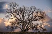 Grand Oak Tree II Fine-Art Print