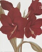 Amaryllis II Fine-Art Print