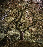 Maple Tree 2 Fine-Art Print