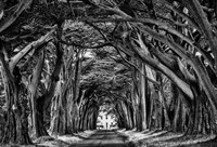 Cypress Trees Black & White Fine-Art Print