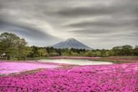 Mount Fuji Pink Moss Fine-Art Print