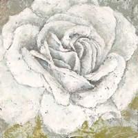 White Rose Blossom Square Fine-Art Print