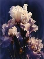 Purple Iris Fine-Art Print