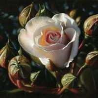 White Rose - First Born Fine-Art Print