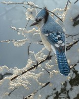 Blue Jay - On the Fence Fine-Art Print