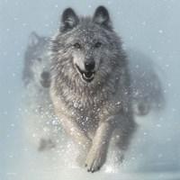 Running Wolves - Snow Plow - Square Fine-Art Print