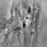 Wolf - Focused - B&W Fine-Art Print