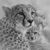 Cheetah Mother and Cubs - Mother's Love - Square - B&W Fine-Art Print