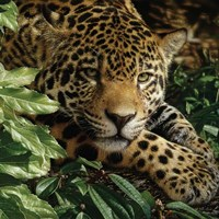 Jaguar - At Rest Fine-Art Print