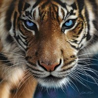 Tiger - Blue Eyes Fine-Art Print