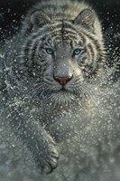 White Tiger - West and Wild Fine-Art Print